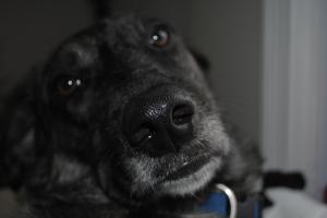 catahoula hound dog