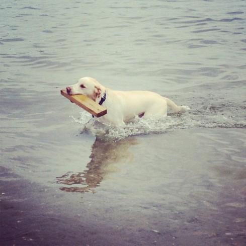 lab swimming
