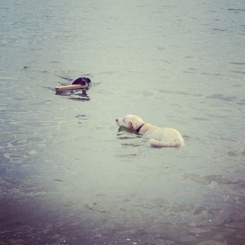 catahoula and lab swim