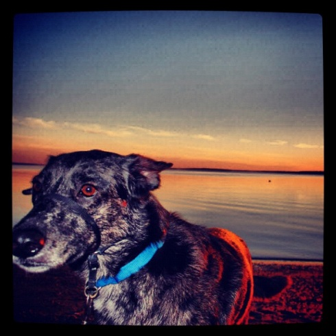 Catahoula Hound Dog 2