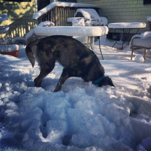 Catahoula digging in the snow
